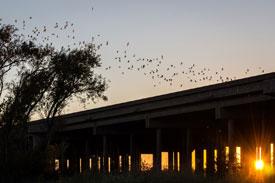 Birds flying away from bridge, Yolo county, CA