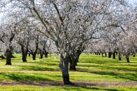 Orchard row, Yolo County, CA.