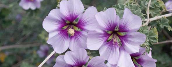 Purple flowers, Yolo county, CA.